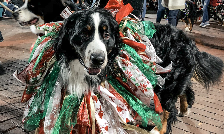 Dog wearing holiday attire as part of the Greenville Poinsettia Christmas Parade